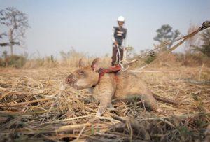 Magawa African Rat