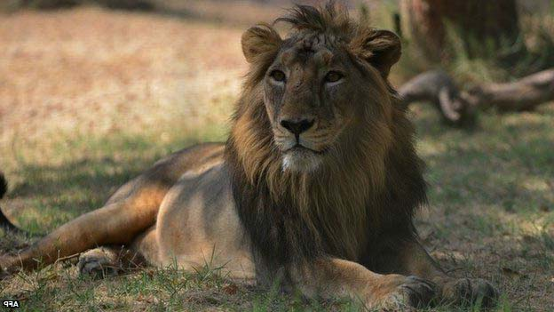 Asiatic Lion endangered animal species in india