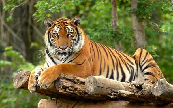 Bengal Tiger endangered species in India
